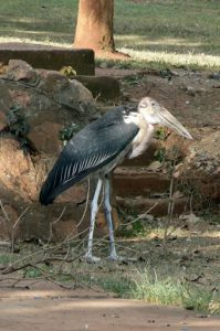 Maribou cranes are common in the central city. They nest