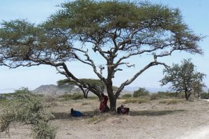 Under the shade of an African acacia tree