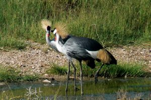 Serengeti National Park - crested cranes