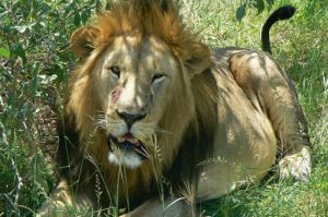 Lions are quite lethargic during the