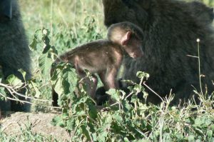 Serengeti National Park - monkeys