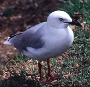 North Island brave gull