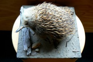 Warning sign for Short-beaked Echidna. The Short-beaked Echidna also known as