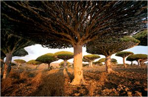 Yemen's Galapagos; Socotra, an island off of the Arabian