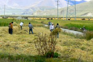 Tibet - harvesting wheat ? barley? in Nagar town.